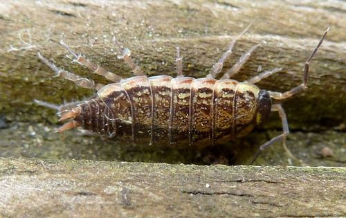 CommonWoodlouse